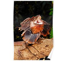 Frilled Lizard (Chlamydosaurus kingii) Poster
