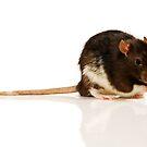 Rat by Shannon Benson