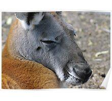 Big Red Kangaroo Poster