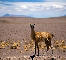 Young Guanaco by parischris