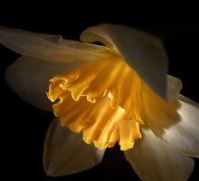 Daffodil by ccmerino