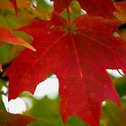 Red Maple Leaf by Linda Miller Gesualdo