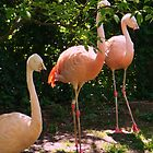 Flamingos  by Journeysinphoto