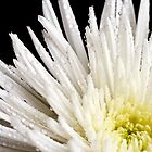 White Chrysanthemum by Wendy Kennedy