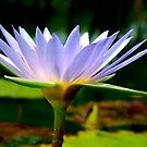 FOR THIS DAY, WE THANK YOU........THE BLUE WATERLILY – Nymphaea nouchall - WATER LELIE by Magaret Meintjes