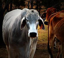 Brahman cow by Ray Woledge