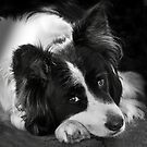 The Border Collie by Manfred Belau