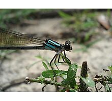 Pitts Spring (Florida) Damsel Photographic Print
