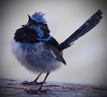 Blue Wren Again by Cathy  Walker