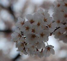 Cherry Blossom, Hanami by DanPraag