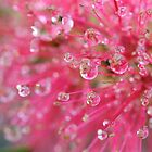 Raindrops on an Australian bottlebrush by Anna Goodchild