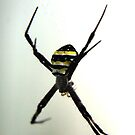 Argiope Keyserlingi - St Andrews Cross Spider by Forto
