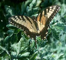 Tiger Swallowtail on Green by WTBird