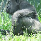 gorilla sitting by mgray