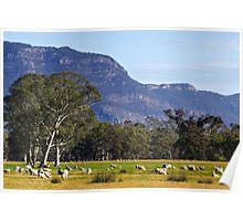 Sheep grazing near the Grampians  Poster