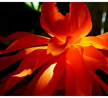 flame orange begonia Photographic Print