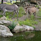Zebra family by schaduwvacht