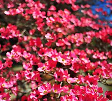Pink_Dogwood_Soft_Focus by Chip  Ford