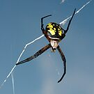 Yellow and black spider by AntonLee