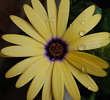 Yellow Daisy by Monalisagirl
