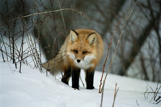 """  Red  Fox  "" by fortner"