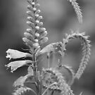 Monochrome Obedient Plant by ElyseFradkin