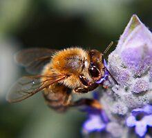 Bee on Lavendar by Susan Brown