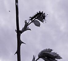 Caterpillar by Jacqueline Eden