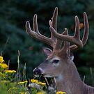 buck in velvet by panthrcat