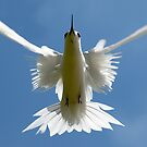 Symmetry - White Tern by Karen Willshaw