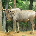 White-Bearded Wildebeest  by Ginny York