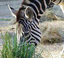 wildlife, Western plains ZEBRA by greysynd