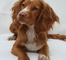 Working Cocker Spaniel by fionajean