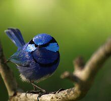 Blue Wren by Jon Staniland