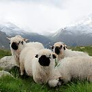 BLACK NOSE SHEEP by mc27