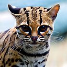 Margay by Stuart Robertson Reynolds