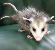 Three-Tailed Possum by Kay Kempton Raade
