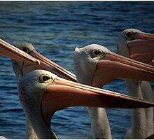 Pelican clan by Ray Woledge