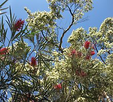 Red grevillea and cream kunsia. by Marilyn Baldey