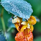 Spotted touch-me-not (Impatiens capensis) by Sheri Nye