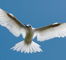 Open Wings of a Tern - Cocos (Keeling) Islands by Karen Willshaw