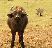 Buffalo Calf with Warthog behind by Sturmlechner