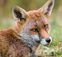 Fox Portrait by Peter Denness
