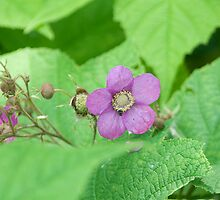 Purple-Flowering Rasberry (Rubus odoratus) by Mike Oxley