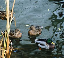 """  Autumn Mallards  ......... Habitat Degradation  "" by fortner"