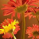 Gerber Daisy Dreams by deb cole