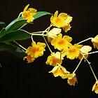 Dendrobium chrysotoxum by Ron Hannah