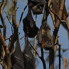 hanging flying foxes by Richard Shakenovsky