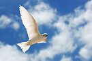 Wing Salute - White Tern - Cocos (Keeling) Islands by Karen Willshaw