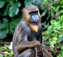 Mandrill at Melbourne Zoo IV by Tom Newman